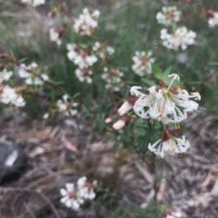 Pimelea linifolia (Slender Rice Flower) at Dryandra St Woodland - 18 Sep 2020 by PeterR
