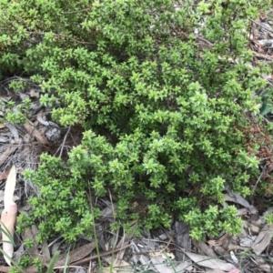 Pultenaea procumbens at Dryandra St Woodland - 18 Sep 2020