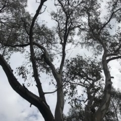 Eucalyptus blakelyi at Dryandra St Woodland - 18 Sep 2020