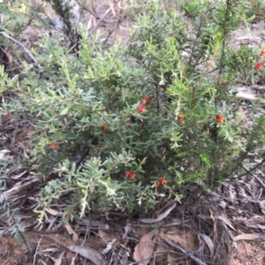 Grevillea alpina at Dryandra St Woodland - 23 Mar 2020