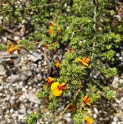Pultenaea foliolosa (Small Leaf Bushpea) at Jack Perry Reserve - 19 Sep 2020 by ClaireSee