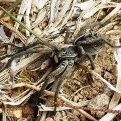 Tasmanicosa sp. (genus) (Unidentified Tasmanicosa wolf spider) at Mcquoids Hill - 18 Sep 2020 by HelenCross