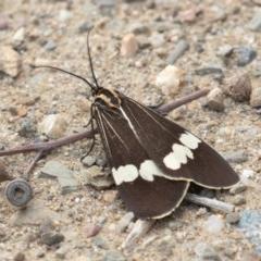 Nyctemera amicus (Senecio or Magpie moth) at Molonglo Gorge - 19 Sep 2020 by rawshorty