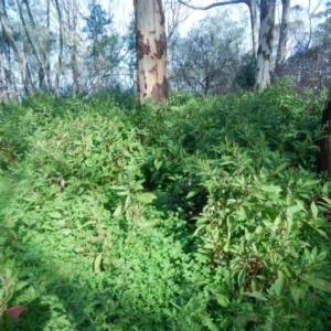 Phytolacca octandra at Meroo National Park - 19 Sep 2020