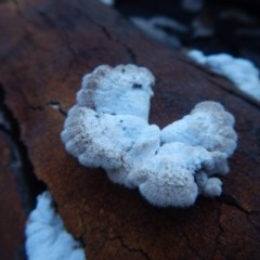 Schizophyllum commune (Split Gill) at Meroo National Park - 19 Sep 2020 by GLemann