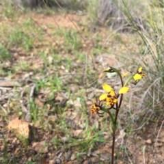 Diuris pardina (Leopard doubletail) at Mount Majura - 18 Sep 2020 by WalterEgo