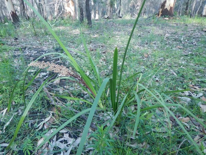 Lomandra longifolia at Meroo National Park - 19 Sep 2020