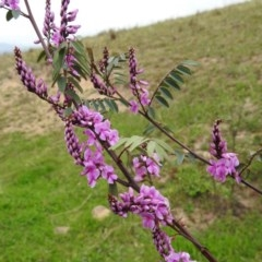 Indigofera australis subsp. australis (Australian Indigo) at Kambah, ACT - 18 Sep 2020 by HelenCross