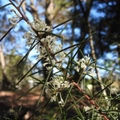 Hakea sericea (Needlebush) at Wingecarribee Local Government Area - 13 Sep 2020 by GlossyGal