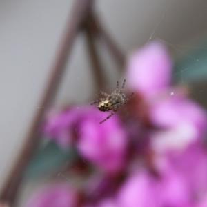 Araneus hamiltoni at Deakin, ACT - 19 Sep 2020