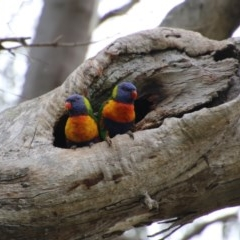 Trichoglossus moluccanus (Rainbow Lorikeet) at Hughes Grassy Woodland - 19 Sep 2020 by LisaH