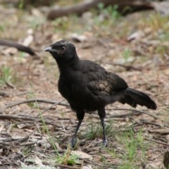 Corcorax melanorhamphos (White-winged Chough) at Red Hill Nature Reserve - 19 Sep 2020 by LisaH