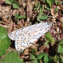 Utetheisa pulchelloides (Heliotrope Moth) at Red Hill Nature Reserve - 17 Sep 2020 by LisaH