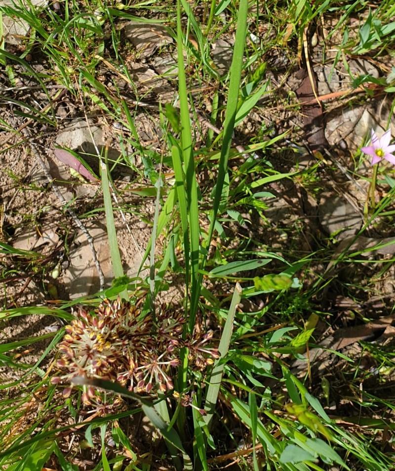 Lomandra multiflora subsp. multiflora at Wodonga, VIC - 19 Sep 2020