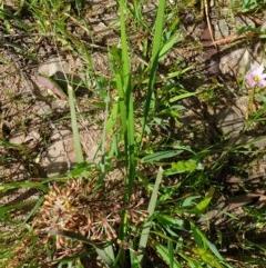 Lomandra multiflora subsp. multiflora (Many-flowered Matrush) at Wodonga, VIC - 19 Sep 2020 by ClaireSee
