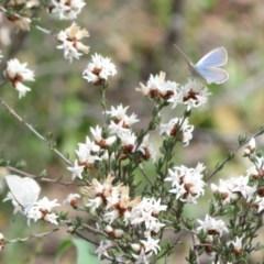 Zizina otis (Common Grass-blue) at Tuggeranong Hill - 19 Sep 2020 by Christine
