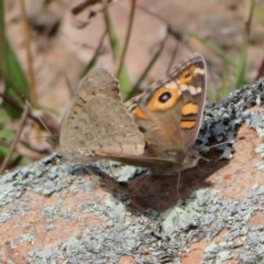 Junonia villida (Meadow Argus) at Tuggeranong Hill - 19 Sep 2020 by Christine
