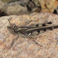 Pycnostictus seriatus (Common Bandwing) at Tuggeranong Hill - 19 Sep 2020 by Christine