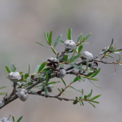 Leptospermum multicaule (Teatree) at Dryandra St Woodland - 19 Sep 2020 by ConBoekel