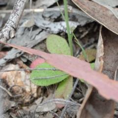 Hypochaeris glabra at Dryandra St Woodland - 19 Sep 2020