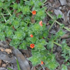 Lysimachia arvensis (Scarlet Pimpernel, Blue Pimpernel) at Dryandra St Woodland - 19 Sep 2020 by ConBoekel