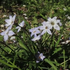 Ipheion uniflorum (Spring Star-flower) at Conder, ACT - 25 Aug 2020 by michaelb