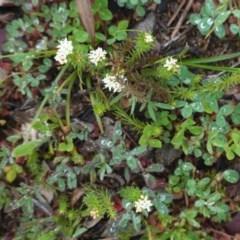 Asperula conferta (Common Woodruff) at Hughes, ACT - 20 Sep 2020 by JackyF