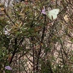 Pieris rapae (Cabbage White) at Namadgi National Park - 18 Sep 2020 by KMcCue