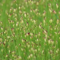 Briza maxima (Quaking Grass, Blowfly Grass) at Wodonga - 20 Sep 2020 by Kyliegw