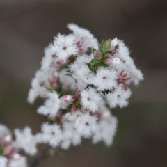 Leucopogon attenuatus (Small leaved beard heath) at Dryandra St Woodland - 19 Sep 2020 by ConBoekel
