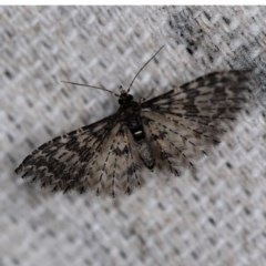 Alucita phricodes (A Many-plumed Moth) at O'Connor, ACT - 19 Sep 2020 by ibaird