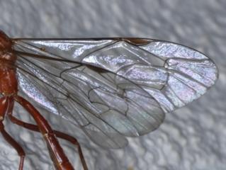 Netelia sp. (genus) at Ainslie, ACT - 19 Sep 2020