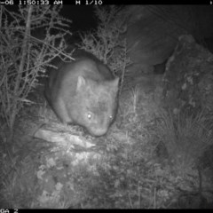 Vombatus ursinus (Wombat) at Illilanga & Baroona - 5 Sep 2020 by Illilanga