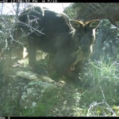 Macropus robustus (Wallaroo) at Michelago, NSW - 2 Sep 2020 by Illilanga