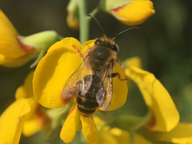 Trichocolletes sp. (genus) at ANBG - 19 Sep 2020