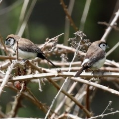 Taeniopygia bichenovii (Double-barred Finch) at Campbell, ACT - 19 Sep 2020 by RodDeb