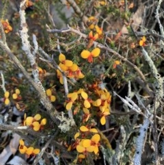 Dillwynia phylicoides (A Parrot-pea) at Nanima, NSW - 19 Sep 2020 by 81mv