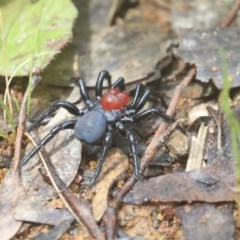 Missulena occatoria (Red-headed Mouse Spider) at The Pinnacle - 20 Sep 2020 by AlisonMilton