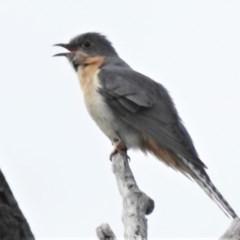 Cacomantis flabelliformis (Fan-tailed Cuckoo) at Namadgi National Park - 20 Sep 2020 by JohnBundock