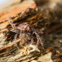 Dolophones sp. (genus) (Wrap-around spider) at Macgregor, ACT - 20 Sep 2020 by Roger