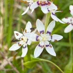 Wurmbea dioica subsp. dioica (Early Nancy) at Coree, ACT - 20 Sep 2020 by KL