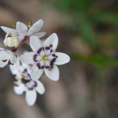 Wurmbea dioica subsp. dioica (Early Nancy) at Mount Majura - 18 Sep 2020 by ClubFED