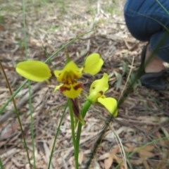 Diuris sulphurea (Tiger orchid) at Tidbinbilla Nature Reserve - 17 Jan 2016 by Liam.m