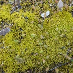 Triquetrella (A trailing moss) at Red Hill Nature Reserve - 20 Sep 2020 by JackyF