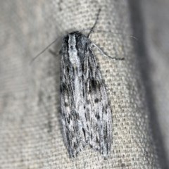 Capusa senilis (Black-banded Wedge-moth) at O'Connor, ACT - 19 Sep 2020 by ibaird