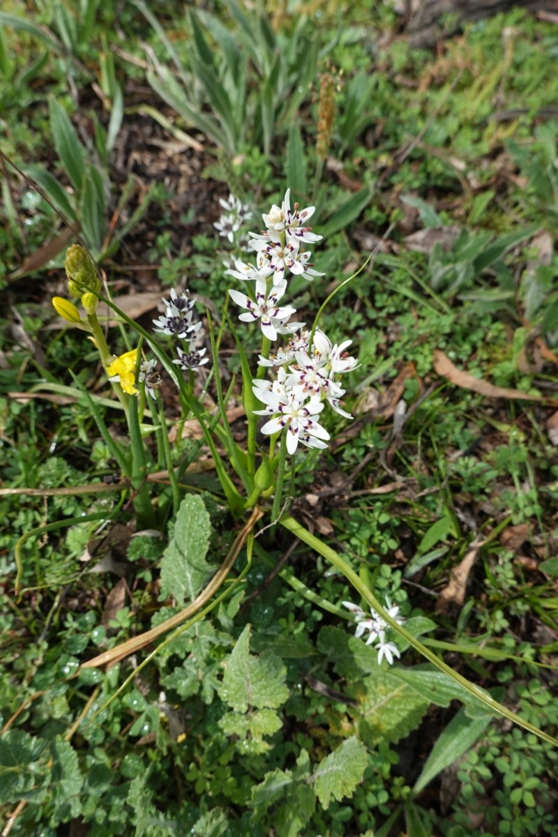 Wurmbea dioica subsp. dioica at Red Hill Nature Reserve - 20 Sep 2020