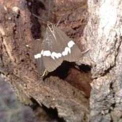 Nyctemera amicus (Senecio or Magpie moth) at Kowen, ACT - 19 Sep 2020 by RyuCallaway