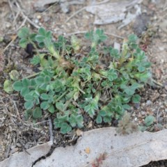 Trifolium sp. (A Clover) at Dryandra St Woodland - 18 Sep 2020 by ConBoekel
