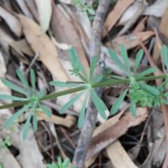Galium aparine (Goosegrass, Cleavers) at Dryandra St Woodland - 18 Sep 2020 by ConBoekel