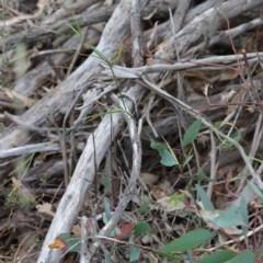 Tricoryne elatior (Yellow Rush Lily) at Dryandra St Woodland - 18 Sep 2020 by ConBoekel